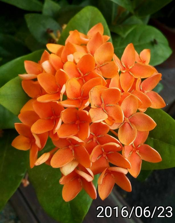 橘色仙丹花、orange Ixora chinensis,  West Indian Jasmine